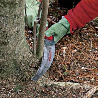 saw cutting suckers off the base to correctly prune a tree