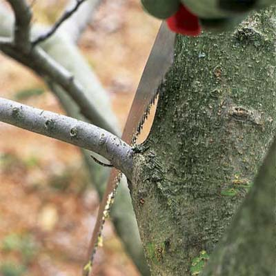 proper saw position near the branch collar to correctly prune a tree