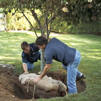 two men roll balled and burlapped tree into hole to plant it