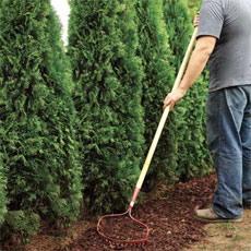 Raking mulch when planting privacy hedge