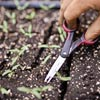snip weakest leaves from seedlings, step by step for how to start seeds