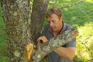 Roger Cook pruning a tree
